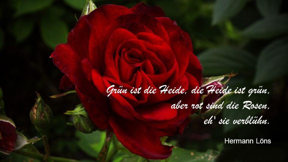 Grün ist die Heide, die Heide ist grün, aber rot sind die Rosen, eh sie verblühn. Hermann Löns