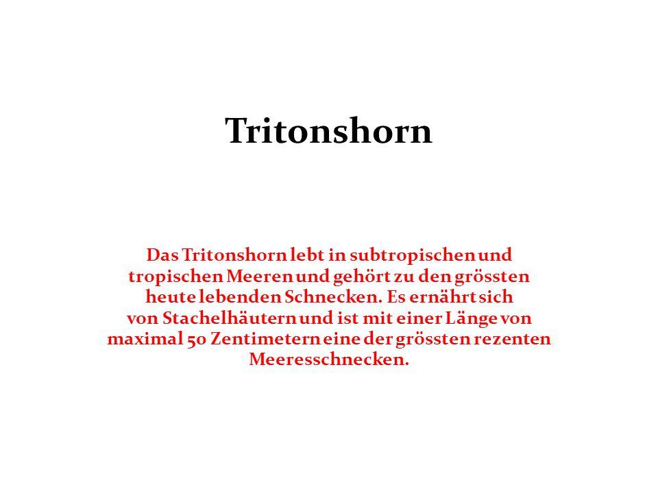 Tritonshorn