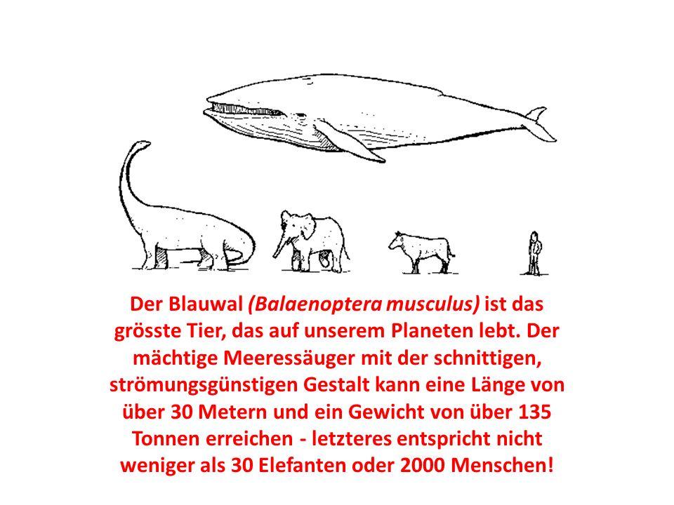 Der Blauwal (Balaenoptera musculus) ist das grösste Tier, das auf unserem Planeten lebt.