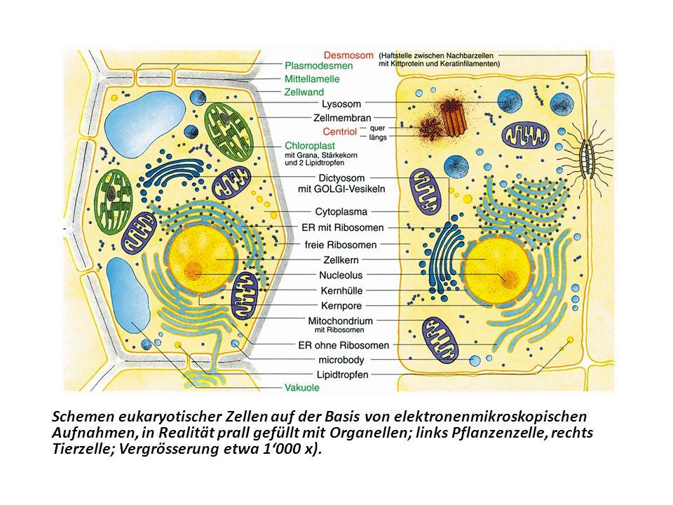Schemen eukaryotischer Zellen auf der Basis von elektronenmikroskopischen Aufnahmen, in Realität prall gefüllt mit Organellen; links Pflanzenzelle, rechts Tierzelle; Vergrösserung etwa 1'000 x).