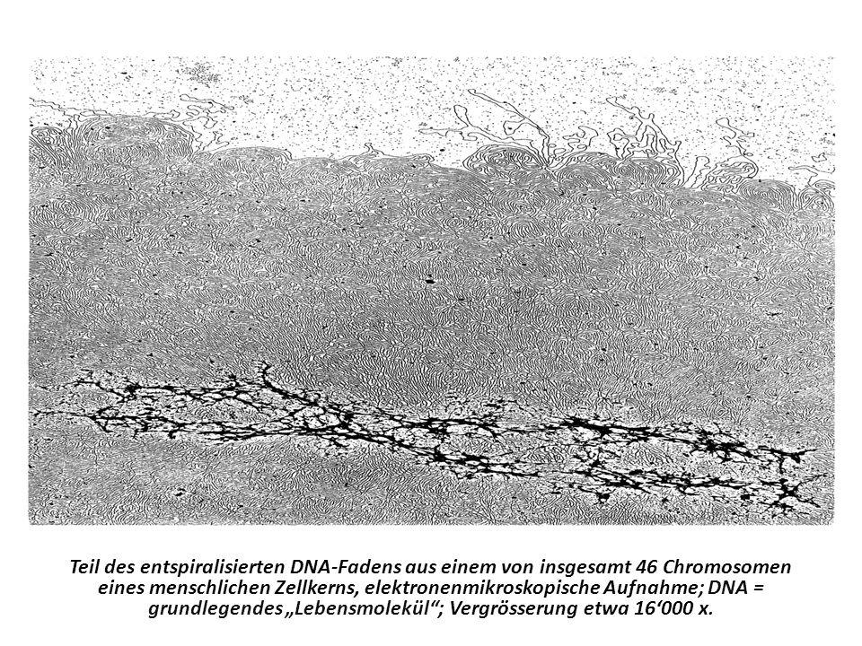 """Teil des entspiralisierten DNA-Fadens aus einem von insgesamt 46 Chromosomen eines menschlichen Zellkerns, elektronenmikroskopische Aufnahme; DNA = grundlegendes """"Lebensmolekül ; Vergrösserung etwa 16'000 x."""