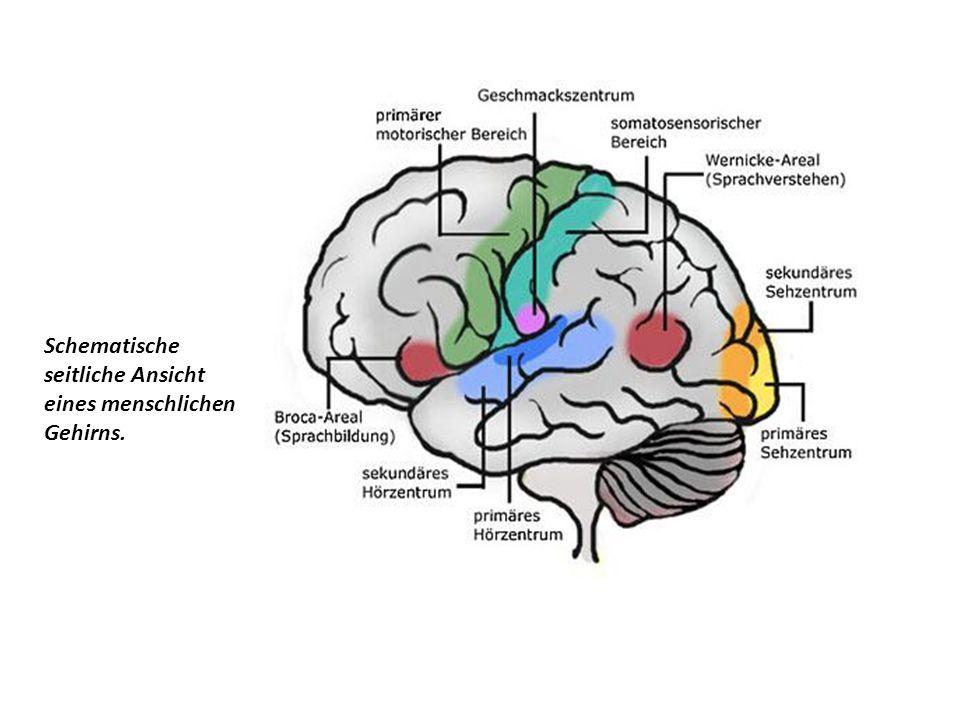 Schematische seitliche Ansicht eines menschlichen Gehirns.