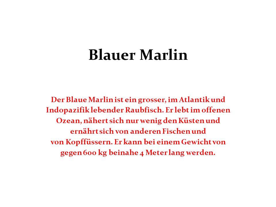 Blauer Marlin