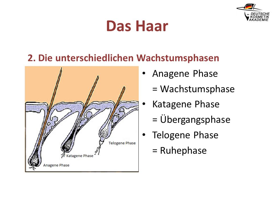 Das Haar 2. Die unterschiedlichen Wachstumsphasen Anagene Phase