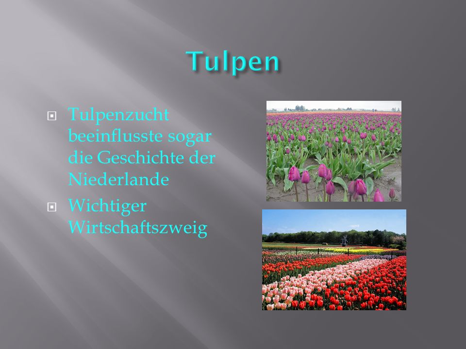 Tulpen Tulpenzucht beeinflusste sogar die Geschichte der Niederlande