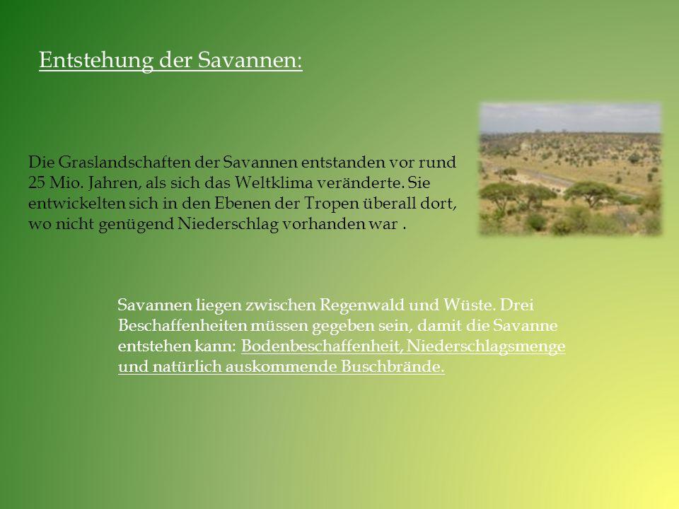 Entstehung der Savannen: