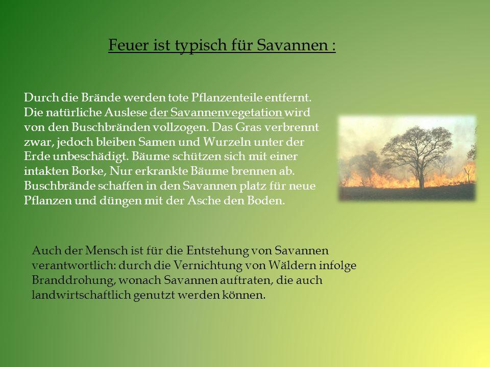 Feuer ist typisch für Savannen :