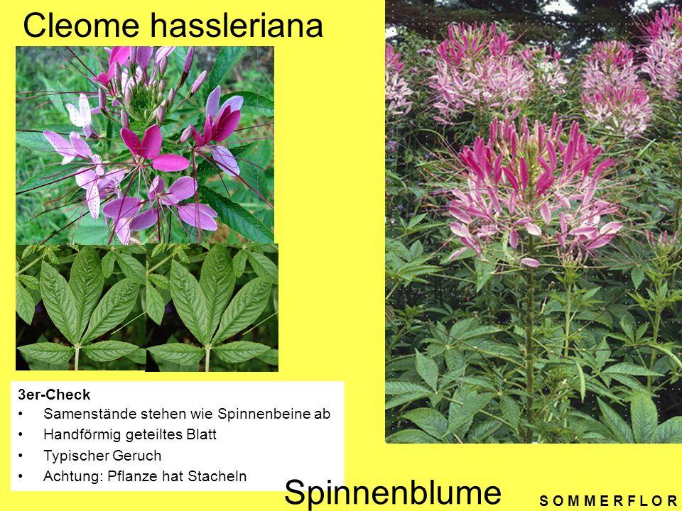 Cleome hassleriana Spinnenblume 3er-Check