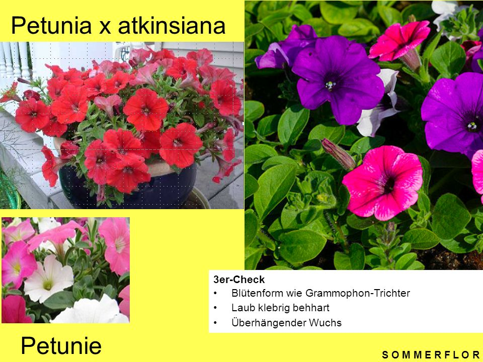 Petunia x atkinsiana Petunie 3er-Check