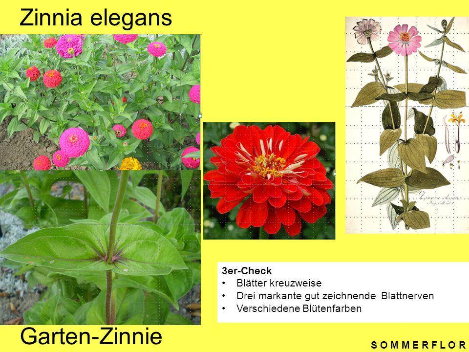 Zinnia elegans Garten-Zinnie 3er-Check Blätter kreuzweise