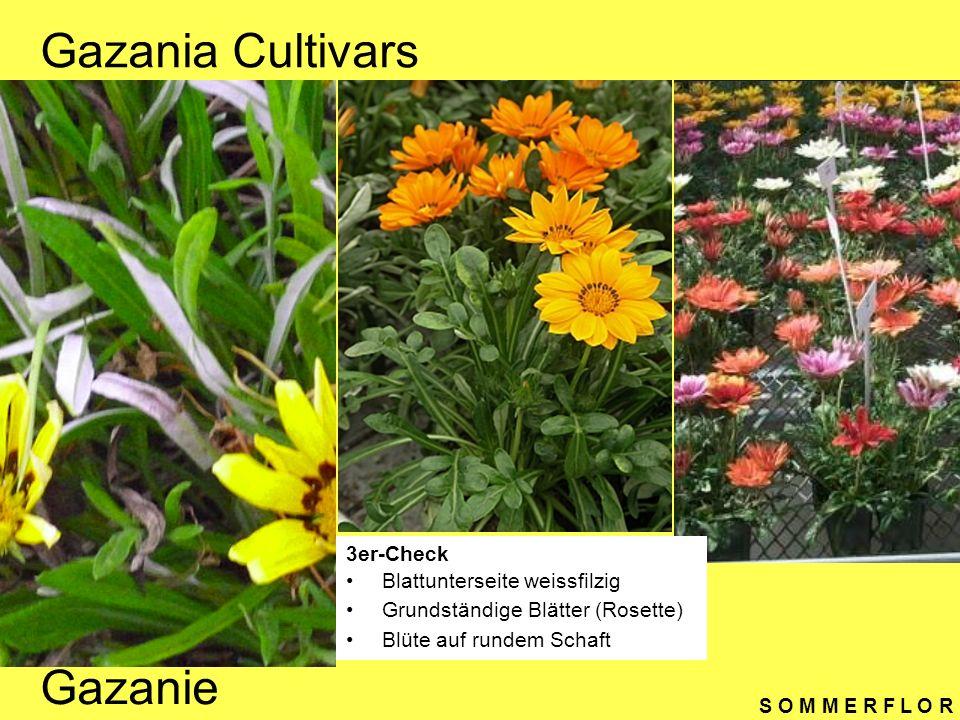 Gazania Cultivars Gazanie 3er-Check Blattunterseite weissfilzig