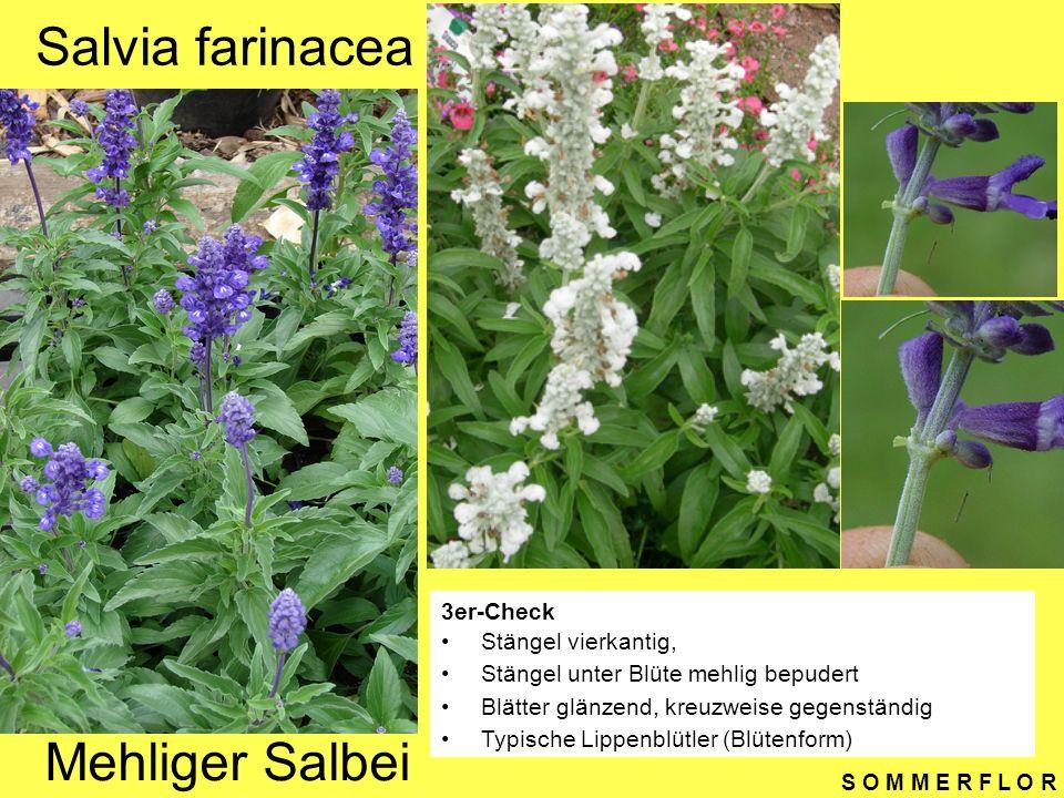 Salvia farinacea Mehliger Salbei 3er-Check Stängel vierkantig,