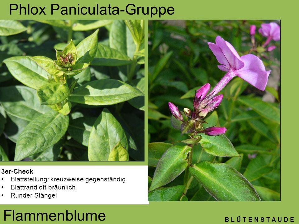 Phlox Paniculata-Gruppe