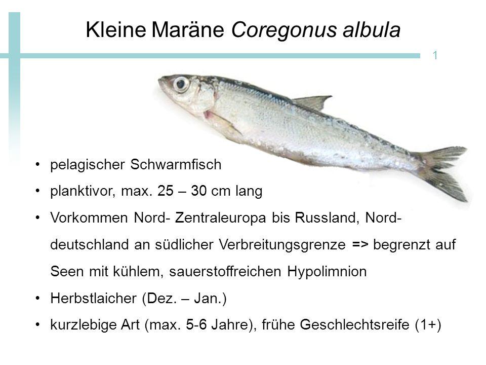 Kleine Maräne Coregonus albula