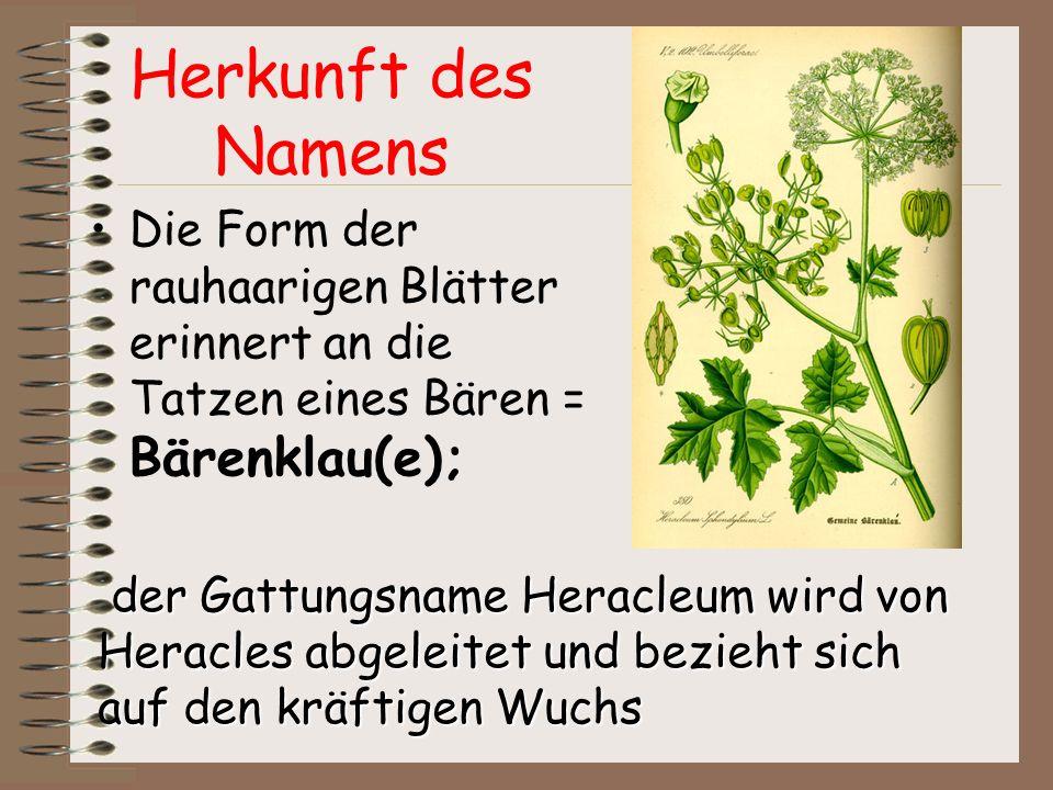 Herkunft des Namens Die Form der rauhaarigen Blätter erinnert an die Tatzen eines Bären = Bärenklau(e);