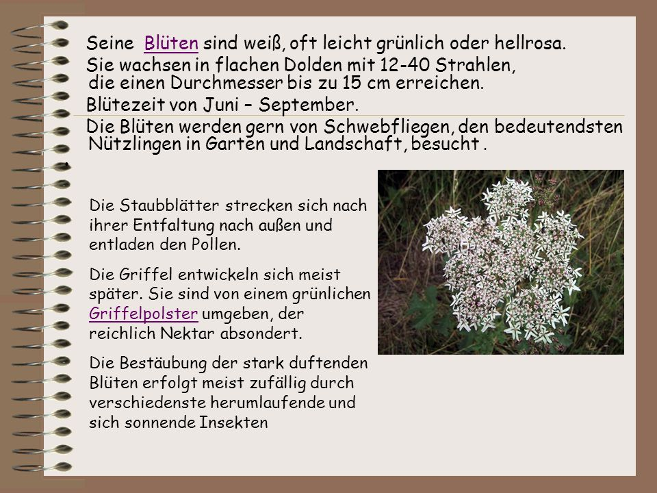 Seine Blüten sind weiß, oft leicht grünlich oder hellrosa.
