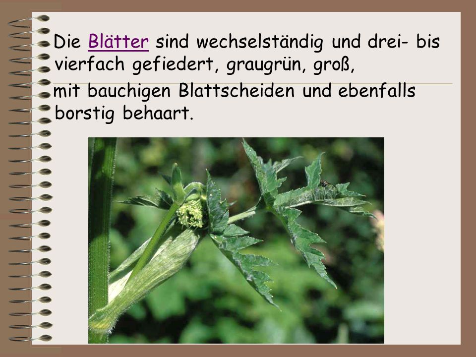 Die Blätter sind wechselständig und drei- bis vierfach gefiedert, graugrün, groß,