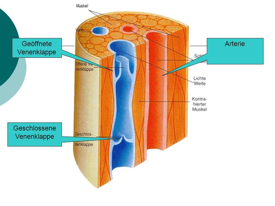 Geöffnete Venenklappe Arterie