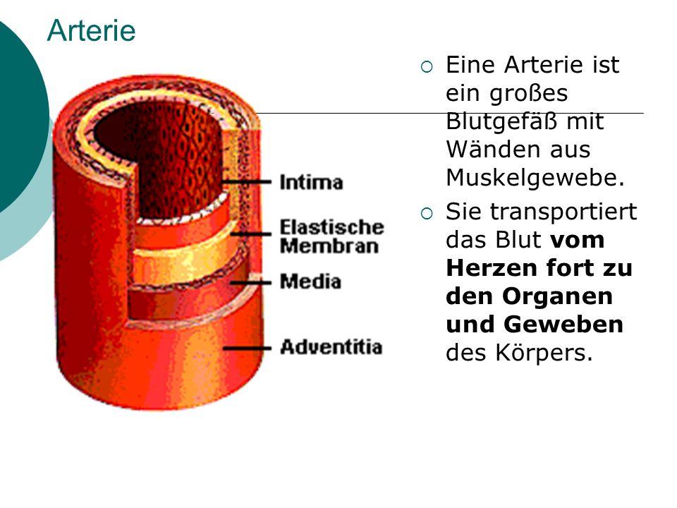 Arterie Eine Arterie ist ein großes Blutgefäß mit Wänden aus Muskelgewebe.