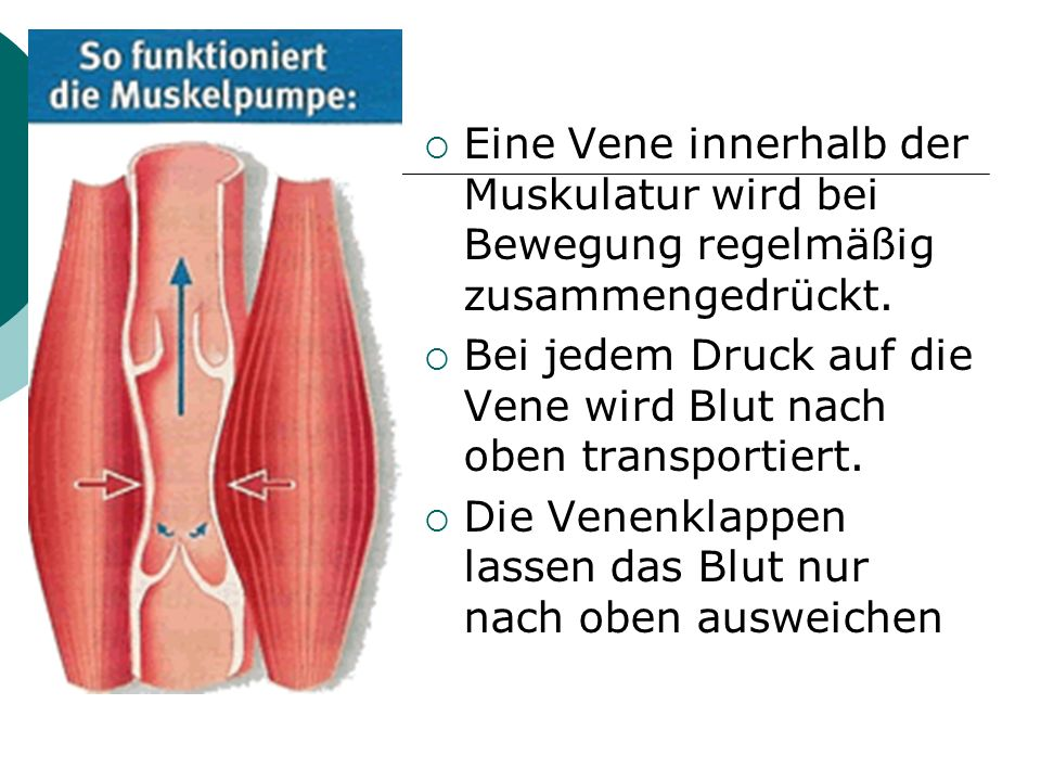 Eine Vene innerhalb der Muskulatur wird bei Bewegung regelmäßig zusammengedrückt.