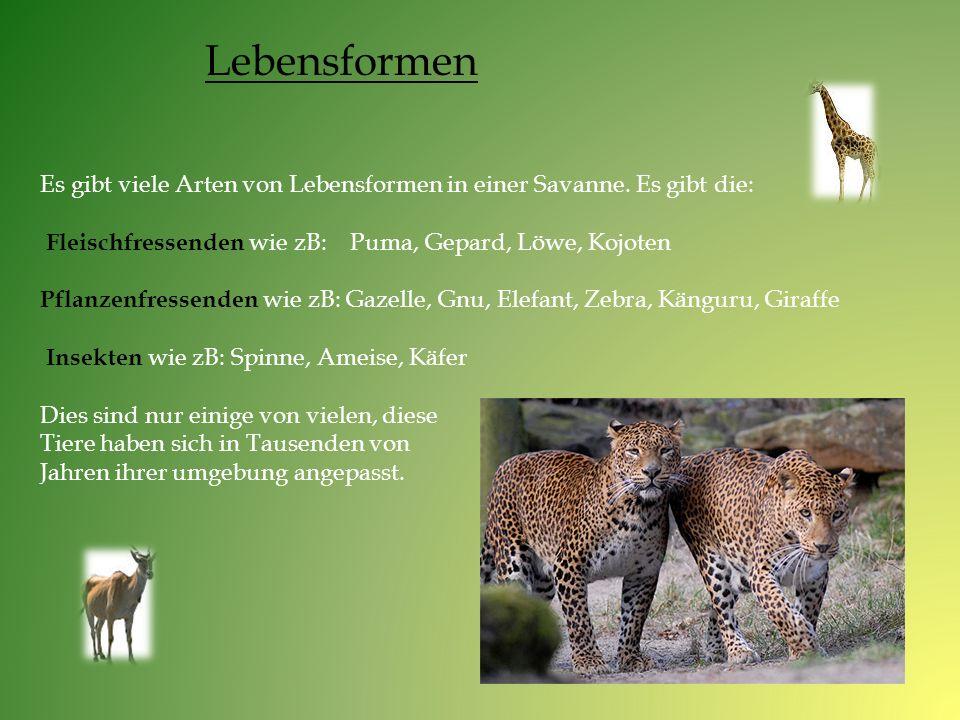 Lebensformen Es gibt viele Arten von Lebensformen in einer Savanne. Es gibt die: Fleischfressenden wie zB: Puma, Gepard, Löwe, Kojoten.