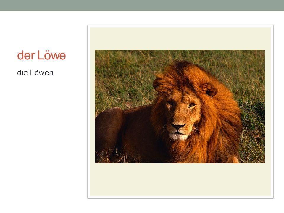 der Löwe die Löwen