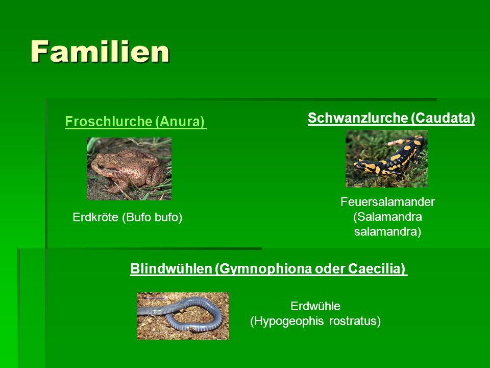 Familien Schwanzlurche (Caudata) Froschlurche (Anura)