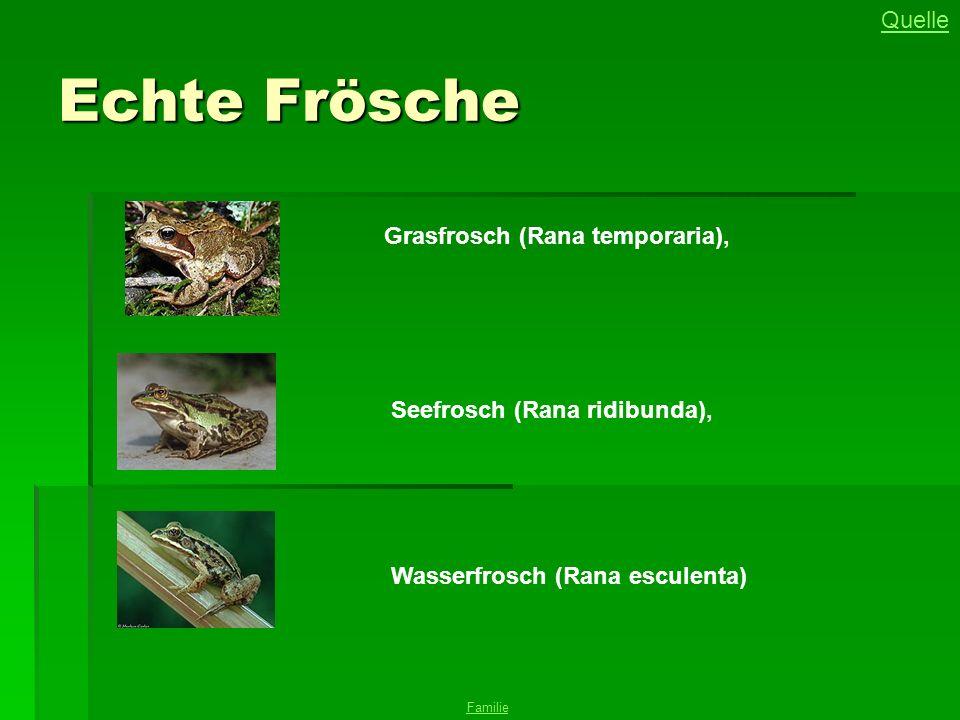 Echte Frösche Quelle Grasfrosch (Rana temporaria),