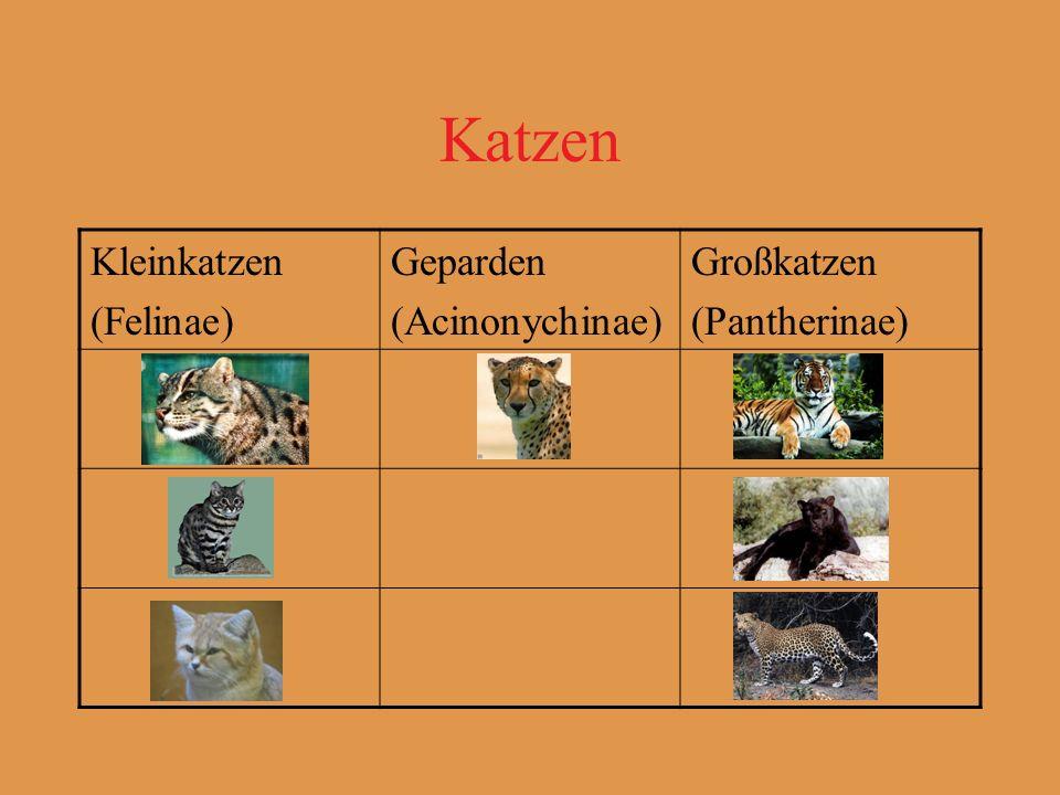 Katzen Kleinkatzen (Felinae) Geparden (Acinonychinae) Großkatzen