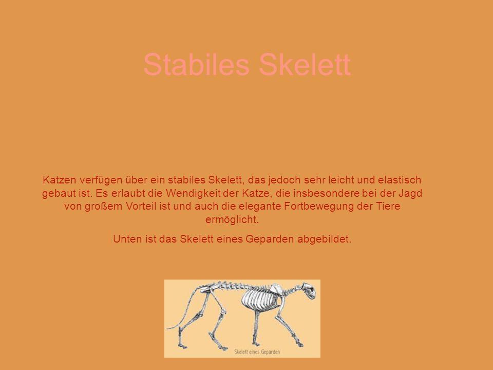 Unten ist das Skelett eines Geparden abgebildet.