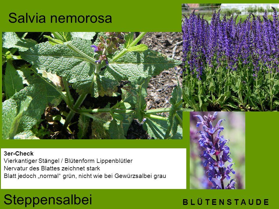 Salvia nemorosa Steppensalbei B L Ü T E N S T A U D E 3er-Check