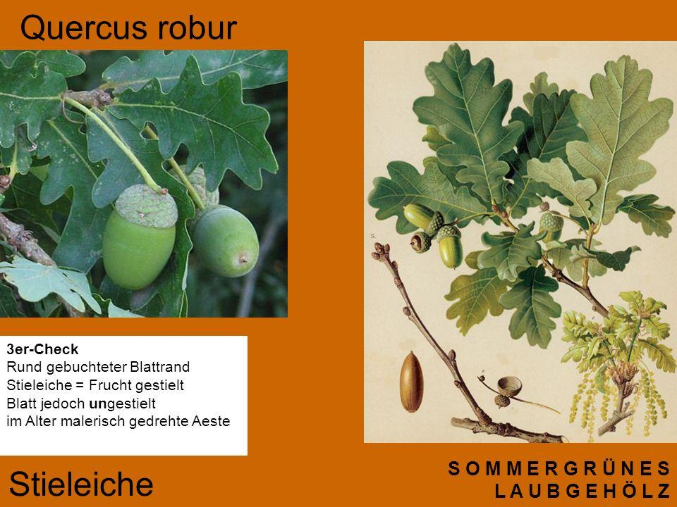 Quercus robur Stieleiche S O M M E R G R Ü N E S L A U B G E H Ö L Z