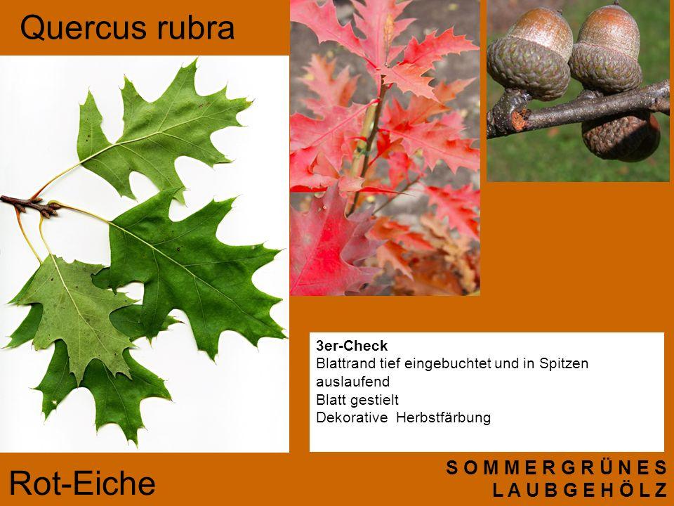 Quercus rubra Rot-Eiche S O M M E R G R Ü N E S L A U B G E H Ö L Z