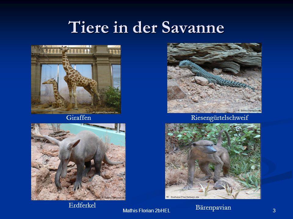 Tiere in der Savanne Giraffen Riesengürtelschweif Erdferkel