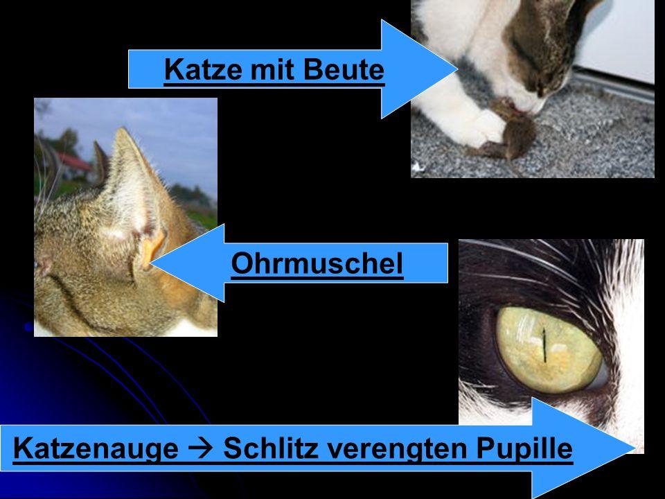 Katzenauge  Schlitz verengten Pupille