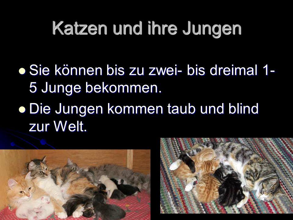 Katzen und ihre Jungen Sie können bis zu zwei- bis dreimal 1-5 Junge bekommen.