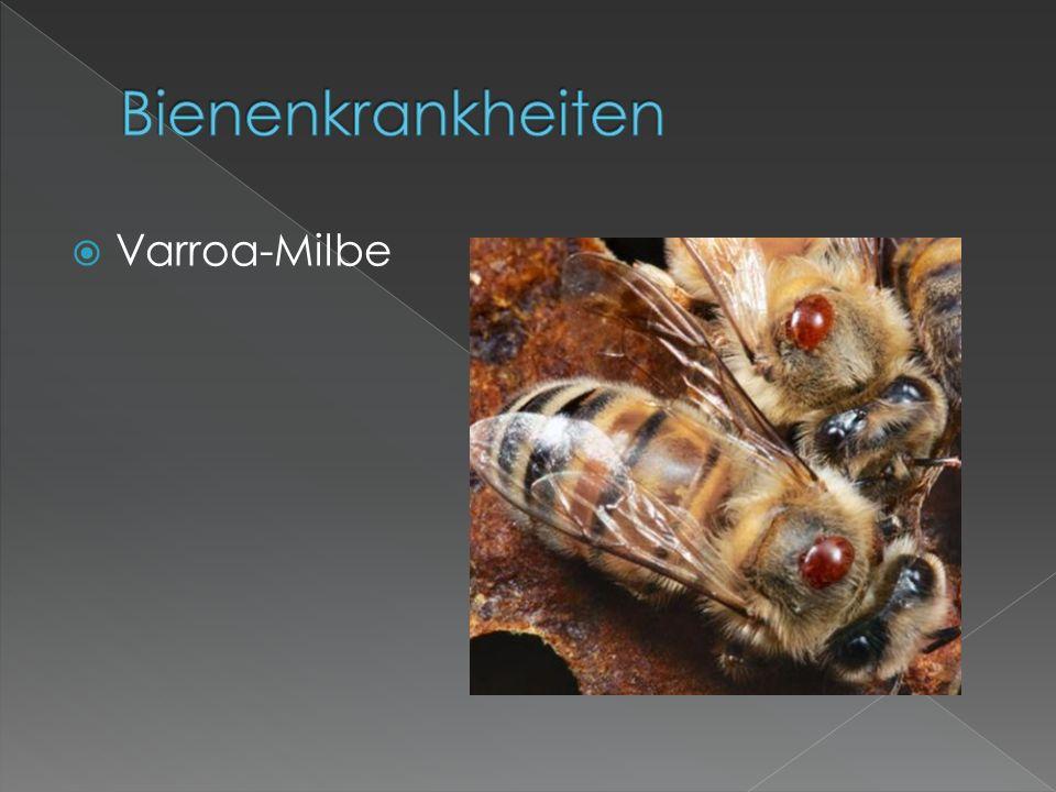 Bienenkrankheiten Varroa-Milbe