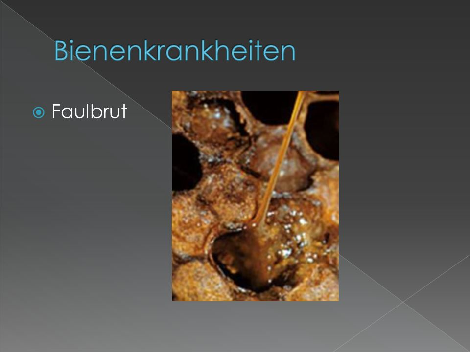 Bienenkrankheiten Faulbrut