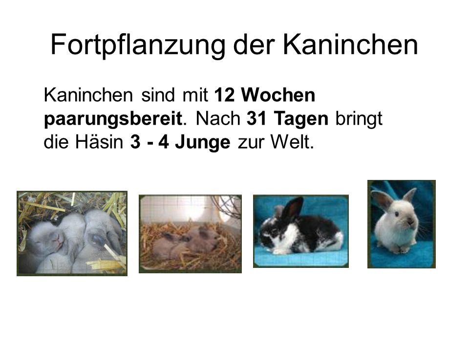 Fortpflanzung der Kaninchen