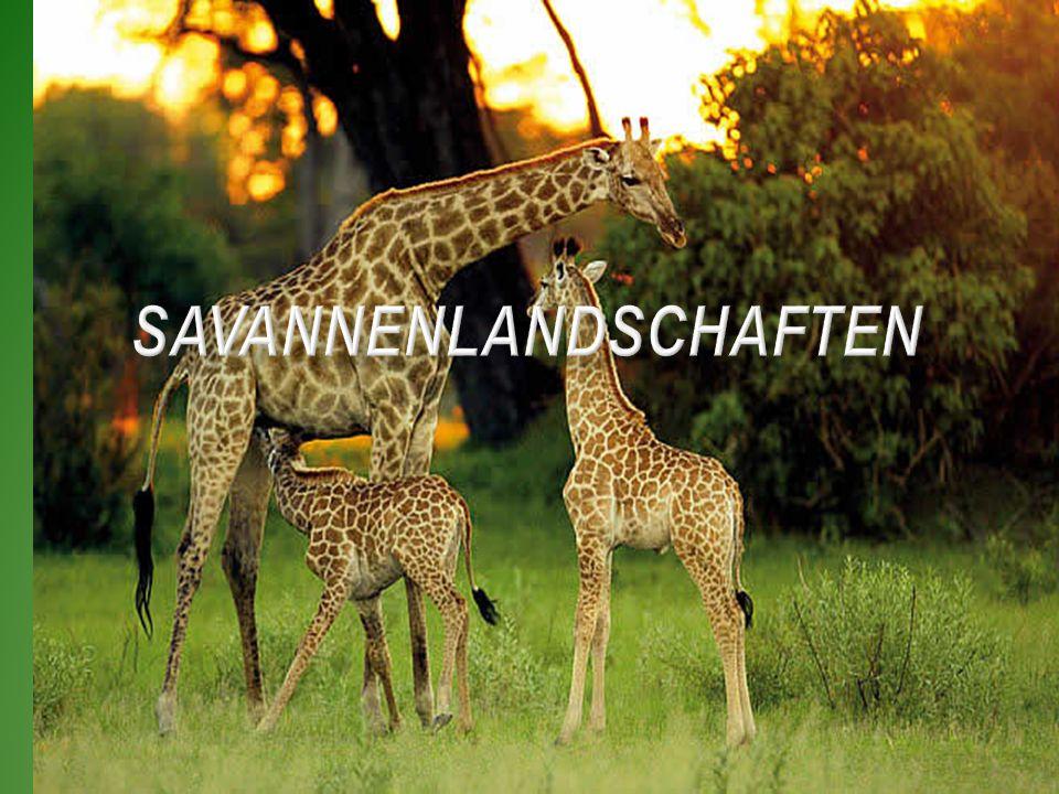 Savannenlandschaften