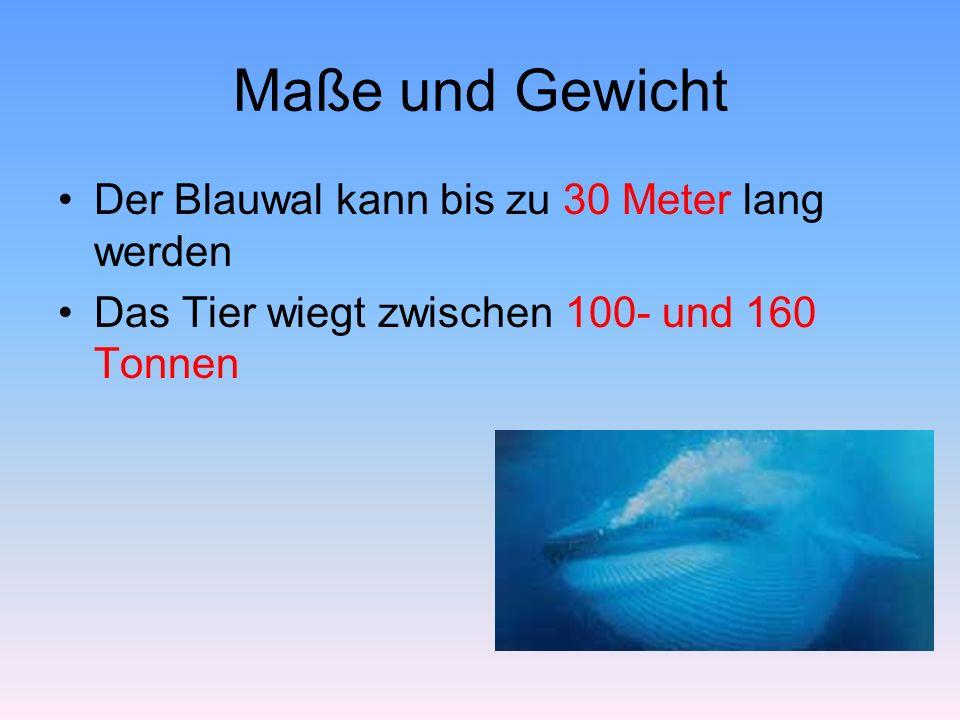 Maße und Gewicht Der Blauwal kann bis zu 30 Meter lang werden