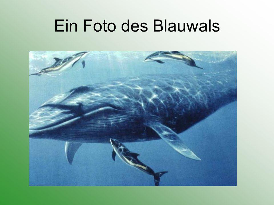 Ein Foto des Blauwals