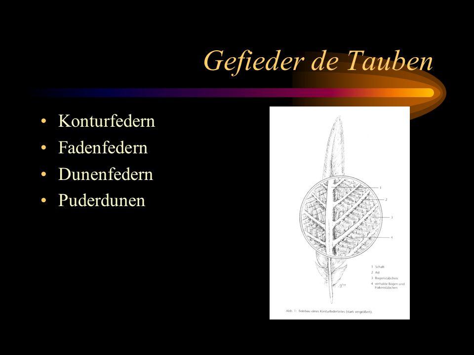 Gefieder de Tauben Konturfedern Fadenfedern Dunenfedern Puderdunen