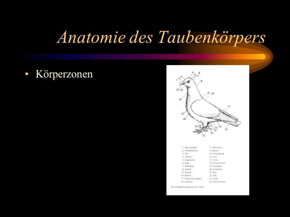 Anatomie des Taubenkörpers