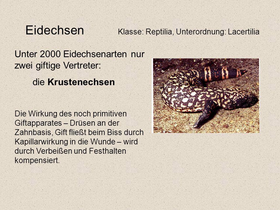 Eidechsen Klasse: Reptilia, Unterordnung: Lacertilia