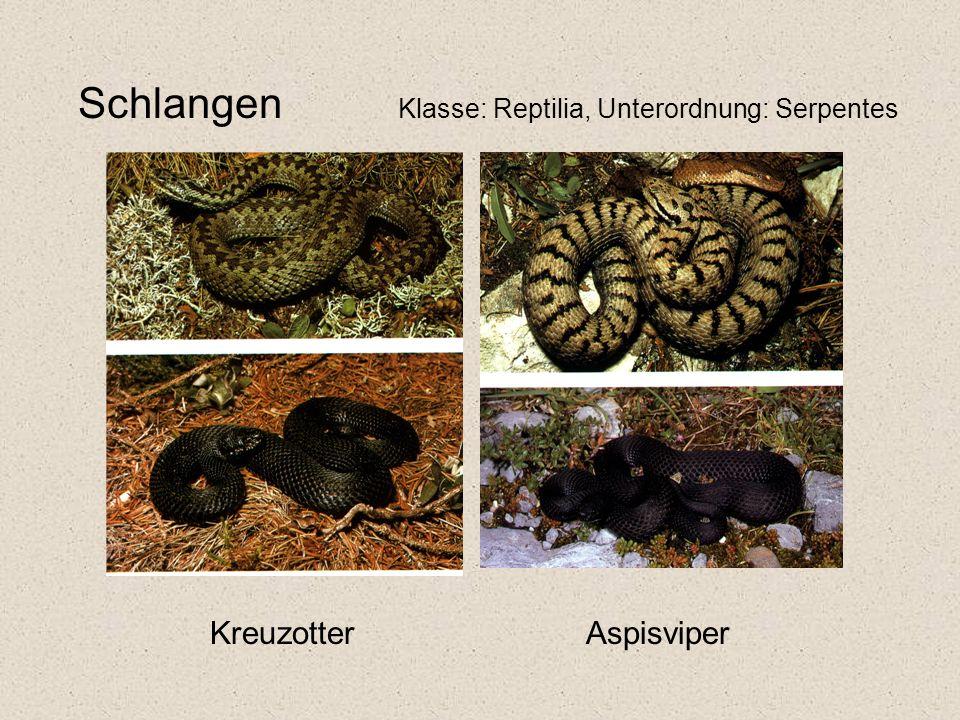 Schlangen Klasse: Reptilia, Unterordnung: Serpentes