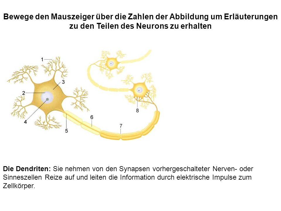 Bewege den Mauszeiger über die Zahlen der Abbildung um Erläuterungen zu den Teilen des Neurons zu erhalten