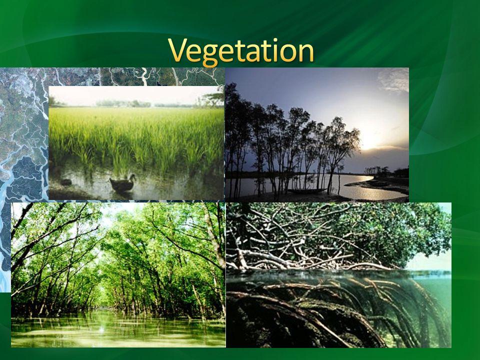 Vegetation Zwischenstromland und Westbengalen trockener Sundarbans