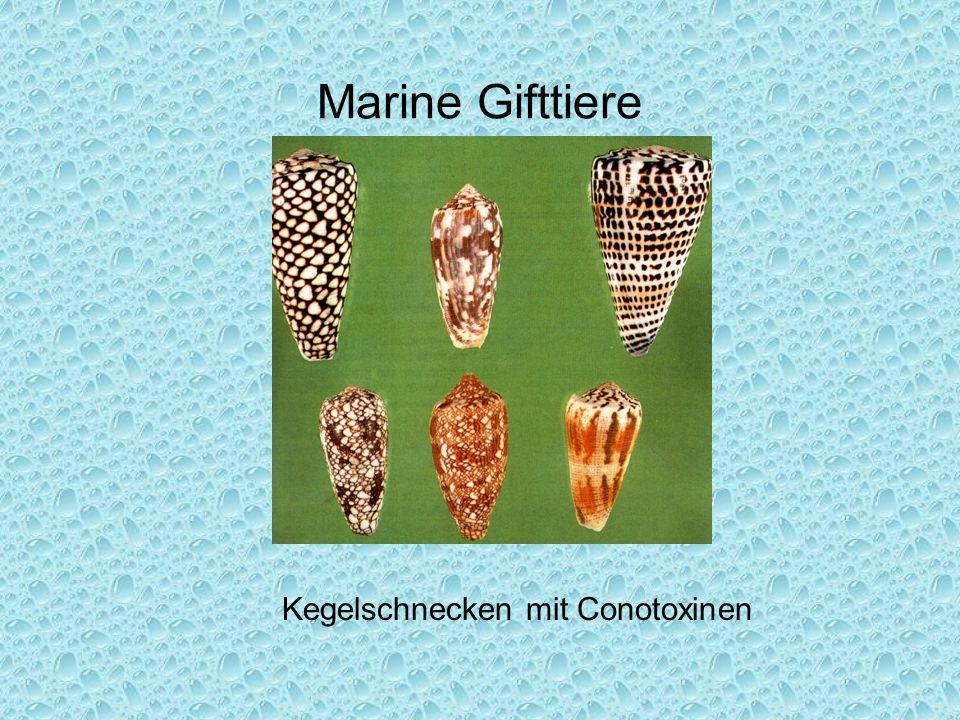 Marine Gifttiere Kegelschnecken mit Conotoxinen