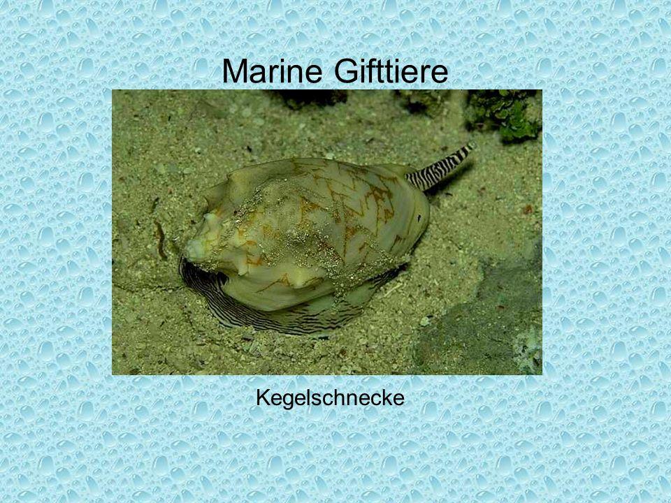 Marine Gifttiere Kegelschnecke